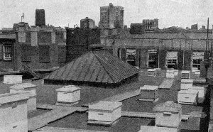 Working The Bees Bees On A Roof In New York City, 1920u0027s